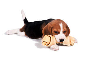 Puppy chewing toy bone